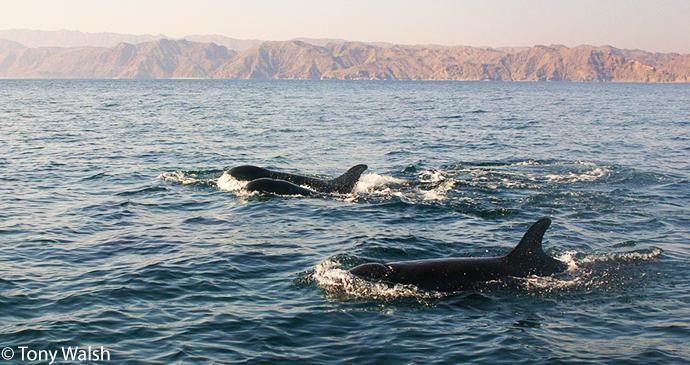False killer whale, whale-watching, Oman by Tony Walsh