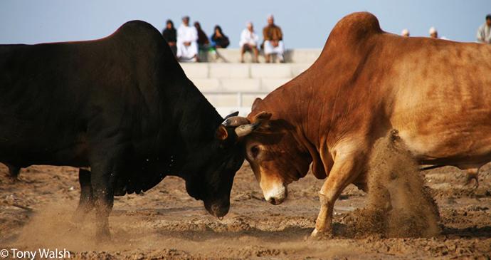Bull fighting, Barka, Al Batinah, Oman by Tony Walsh