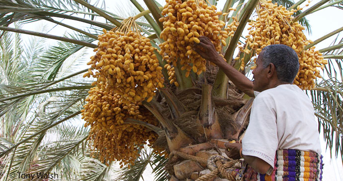 Harvesting dates, Bahla, Oman © Tony Walsh
