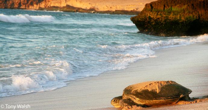 Turtle on beach, Ras Al Jinz, Oman by Tony Walsh