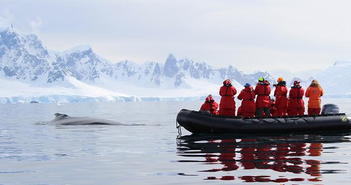 Humpback whales, Wilhelmina Bay, Antarctica, Lewnwdc77, Wikimedia Commons