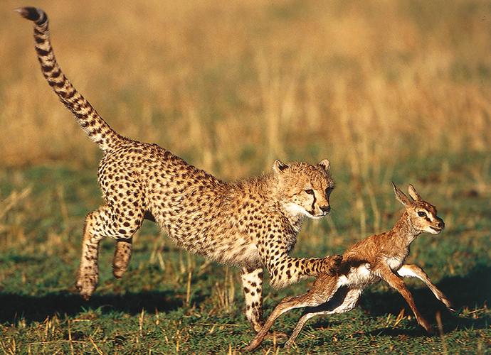Cheetah hunting, A Cheetah's Tale by Jonathan and Angela Scott