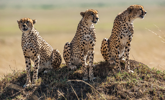 Cheetahs, A Cheetahs Tale, Jonathan and Angela Scott