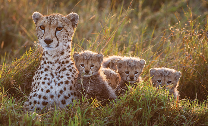 Mother and cubs, A Cheetah's Tale by Jonathan and Angela Scott