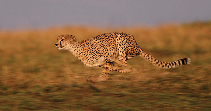 Running Cheetah, A Cheetah's Tale by Jonathan and Angela Scott