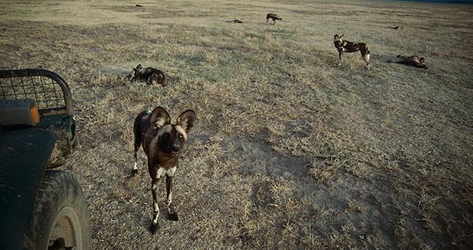 African wild dogs Tanzania by Jonathan Scott