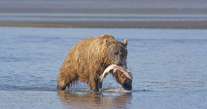 Grizzly bear salmon Alaska by Steven Prorak, Dreamstime