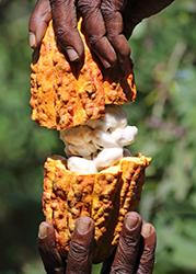Man cocoa pod by CKP1001 Shutterstock