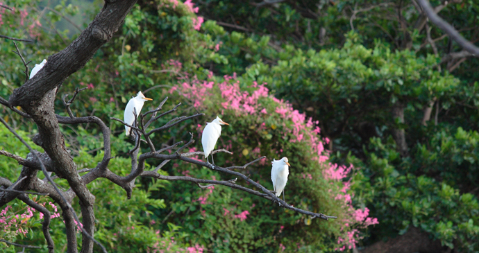 Egrets, Hillsborough Botanical Gardens, Grenada by Celia Sorhaindo