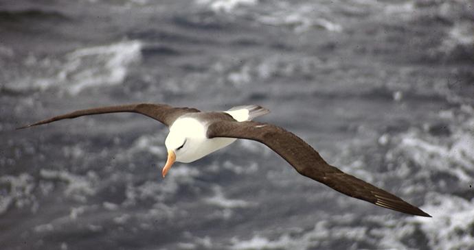 Black browed albatross Antarctica by Tony Soper