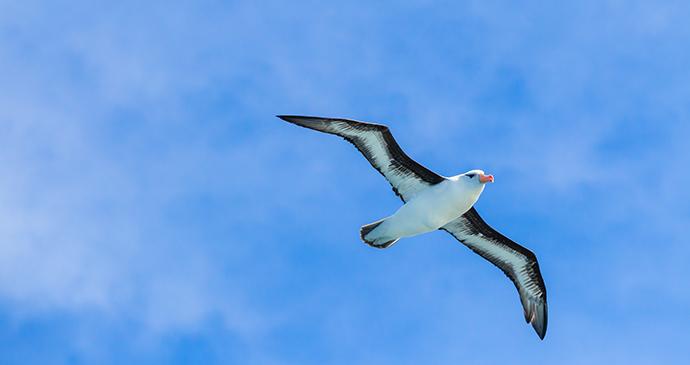 Black browed albatross Antarctica by jo Crebbin, Shutterstock