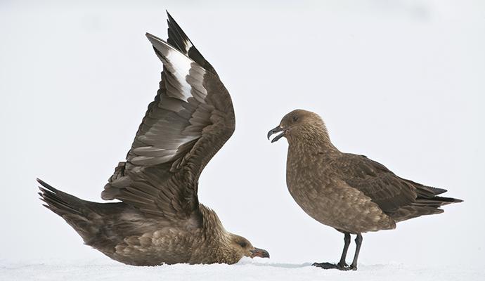 Brown skua Antarctica Enrique Aguirre, Shutterstock