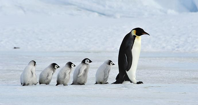 Emperor penguin Antarctica by vladsilver, Shutterstock
