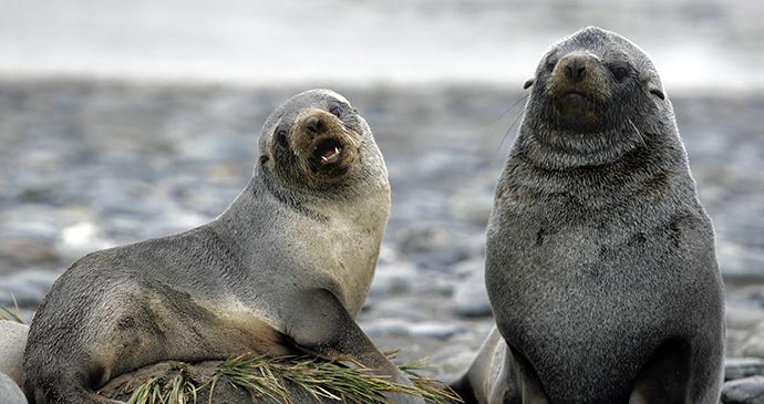 Fur seal Antarctica © Moritz Buchty, Shutterstock