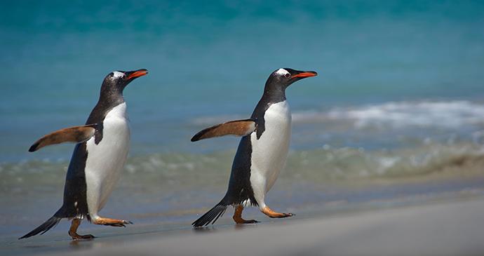 Gentoo penguin Antarctica by JeremyRichards Shutterstock