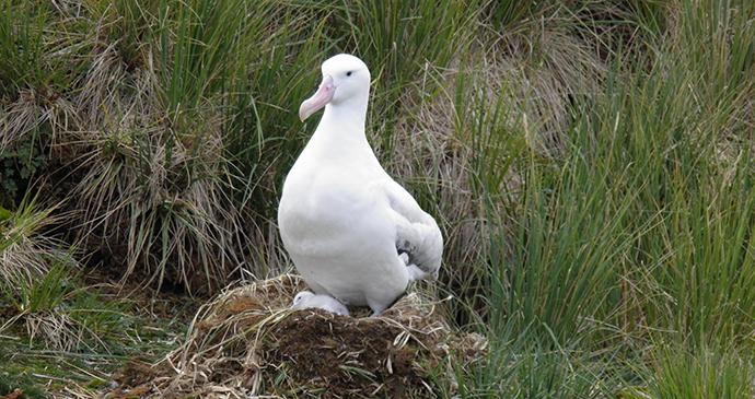 Wandering albatross Prion Island Antarctica by Tony Soper