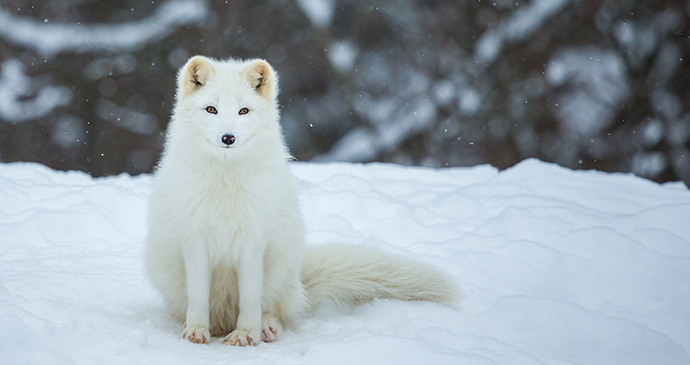 Arctic fox The Arctic by Glass and Nature Shutterstock