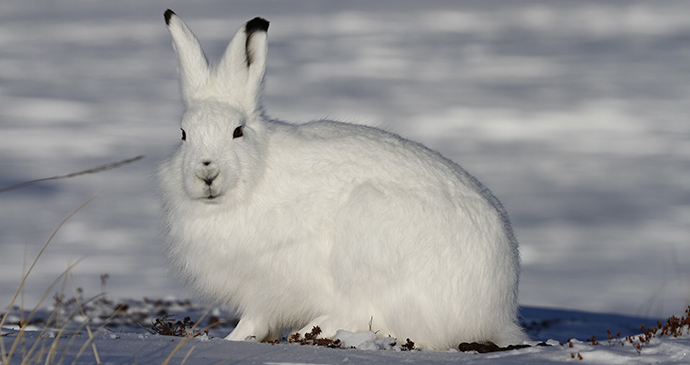 Arctic hare The Arctic by Sophia Granchinho Shutterstock