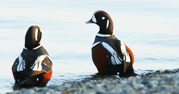 Harlequin ducks Bering Sea the Arctic by tryton2011 Shutterstock
