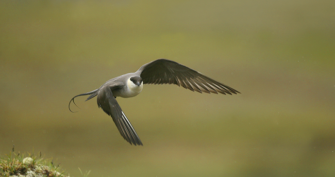 Long-tailed skua The Arctic by BMJ Shutterstock