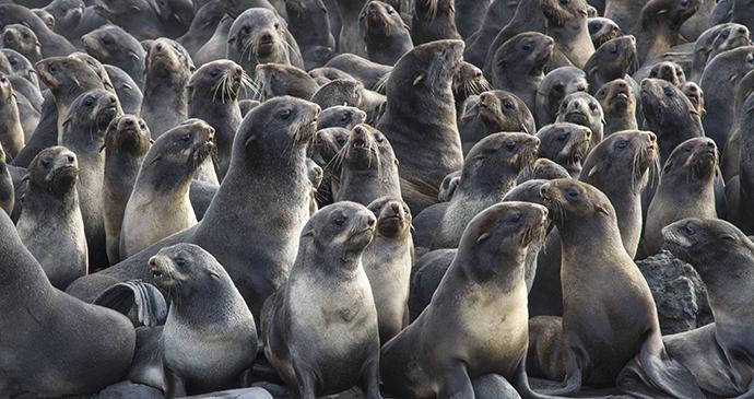 Northern fur seals Bering Sea Arctic by Tarpan Shutterstock
