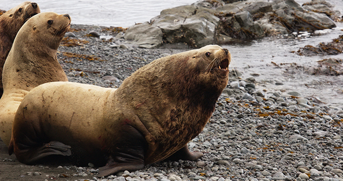 Northern sea lion the Arctic by tryton2011 Shutterstock