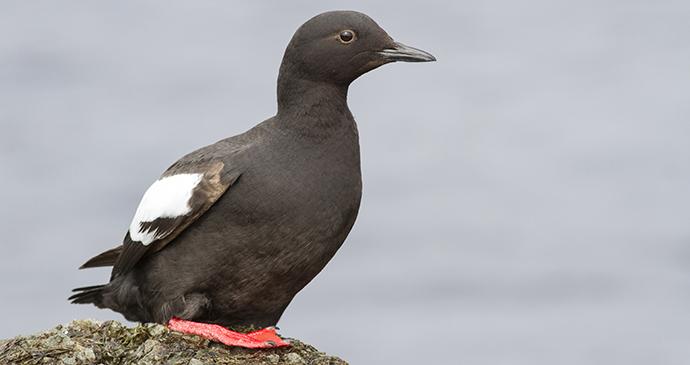 Pigeon guillemot Bering Sea Arctic by Tarpan Shutterstock