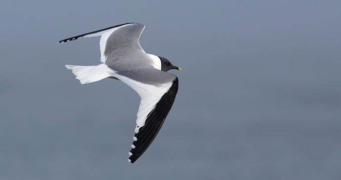 Sabine's gull The Arctic by Agami Photo Agency Shutterstock