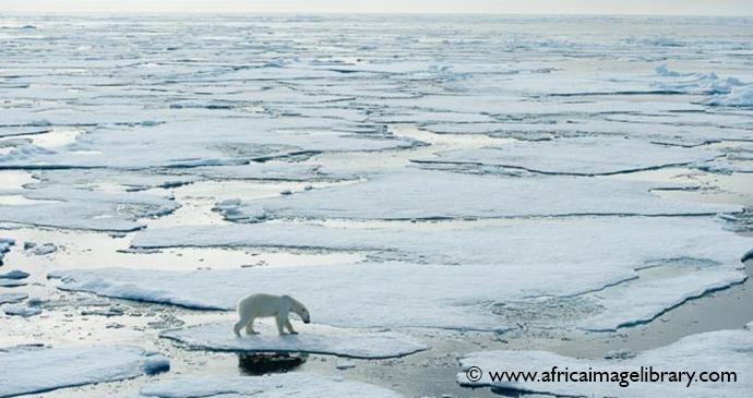 Polar bears Spitsbergen the Arctic by Ariadne Van Zandbergen