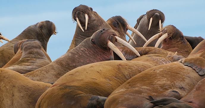 Walrus, Spitsbergen, Svalbard, 52 European Wildlife Weekends by DonLand, Shutterstock