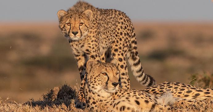 Cheetahs in the Serengeti, Tanzania © Paul Goldstein