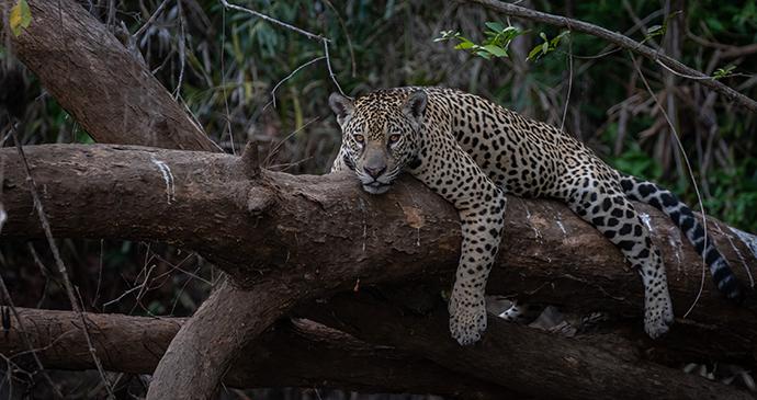 Jaguar in the Pantanal, Brazil © Paul Goldstein