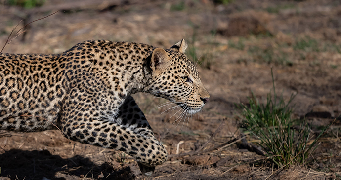 Leopard on the Mara Conservancy, Kenya © Paul Goldstein