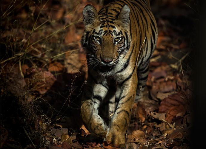 Tiger in Bandhavgarh, India © Paul Goldstein