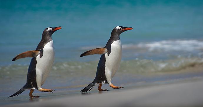 Penguins, Bleaker Island, Falkland Islands © jeremyrichards, Shutterstock