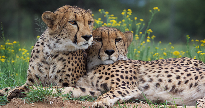 Cheetahs, Namibia © Cheetah Conservation Fund