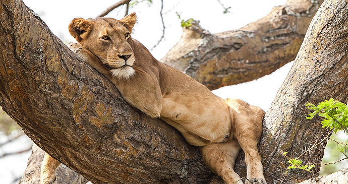 Tree climbing lions in Ishasha Wilderness Camp, Queen Elizabeth National Park, Uganda © Tourism Uganda