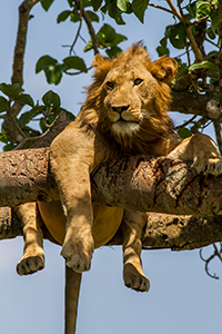 Tree climbing lion in Ishasha Wilderness Camp, Queen Elizabeth National Park, Uganda © Tourism Uganda
