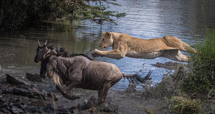 Attack Formation (lioness attack), Olare Conservancy, Masai Mara © Paul Goldstein