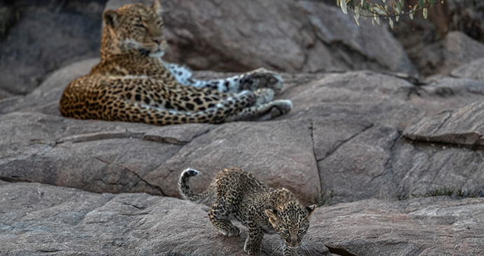 Cubulike, leopard and seven week cub, Naboisho Conservancy, Masai Mara, Kenya © Paul Goldstein