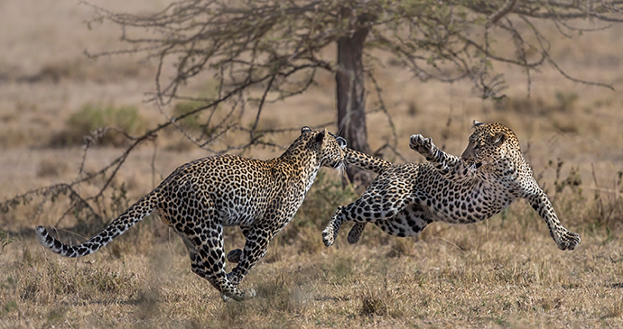 Family affair, mother and cub airborne, Olare Conservancy, Kenya © Paul Goldstein