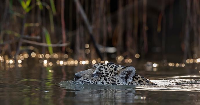 He type, Jaguar in the Pantanal © Paul Goldstein