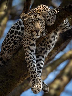 Well Hung Leopard, Olare Conservancy. Masai Mara © Paul Goldstein