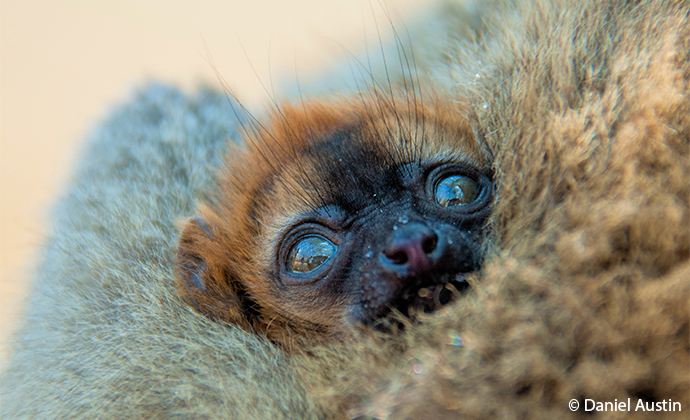 baby red-fronted lemur Madagascar by Daniel Austin