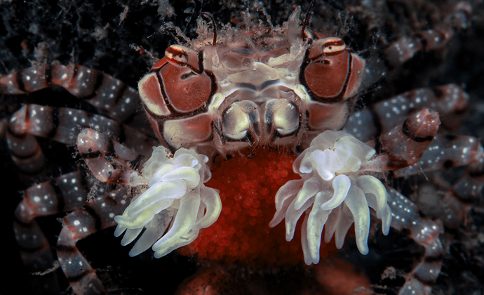 Boxer crab with eggs Seraya Bali by Scott Bennett