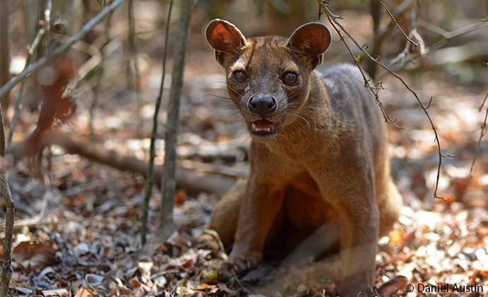 fossa Madagascar by Daniel Austin