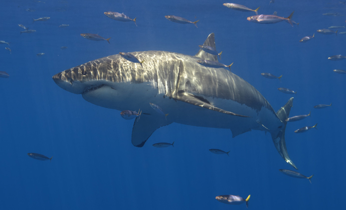 Great white shark Guadalupe Island Mexico by Scott Bennett