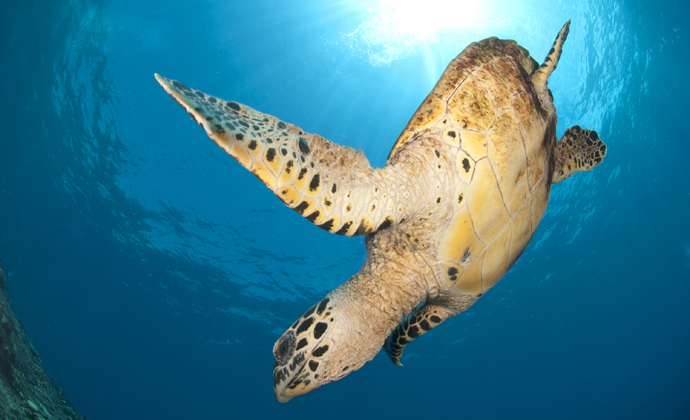 Hawksbill turtle Papua New Guinea by Scott Bennett