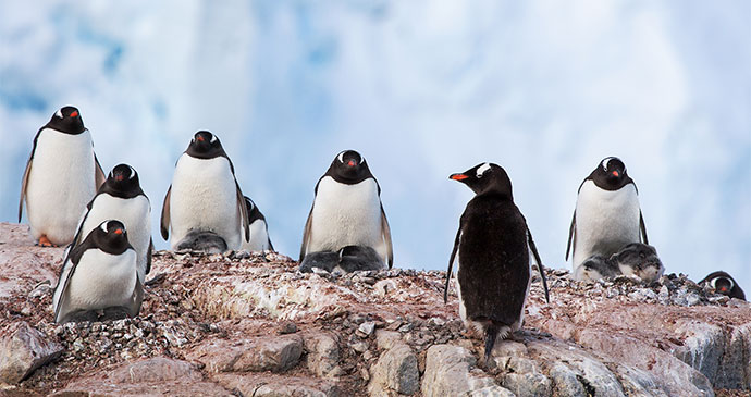 Gentoo penguins South Georgia by letusgophoto