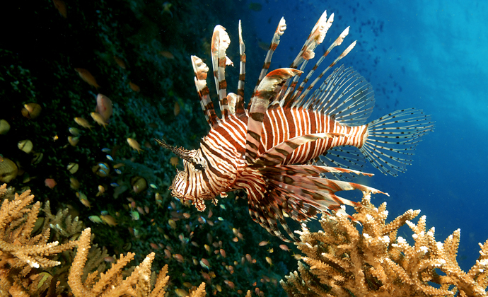 Lionfish Moyo Island Indonesia by Scott Bennett